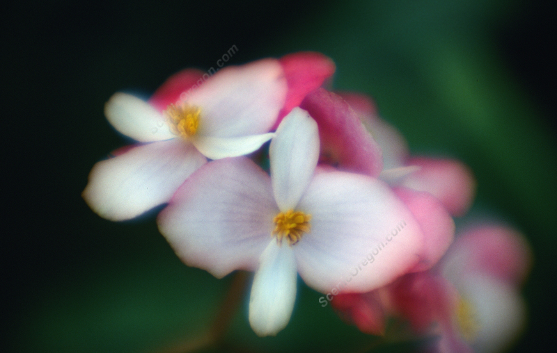Pink and white tropical flowers kauai hawaii scenicoregon mightylinksfo
